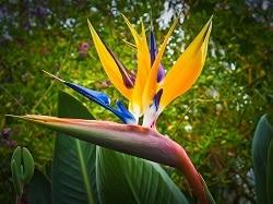 Paradiesvogelblume Strelizie