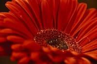 Blumen Bedeutung Gerbera